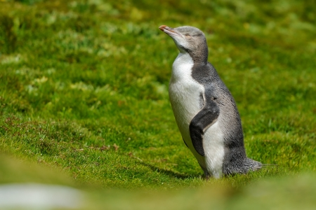 Yellow-eyed Penguin standing in grass