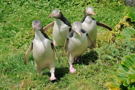 Four Yellow-eyed Penguins walking towards