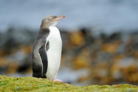 yellow eyed penguin: Yellow-eyed Penguin standing in front of ocean