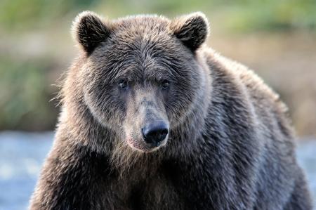 grizzly: Portrait d'un ours grizzli