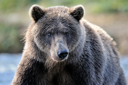 omnivore animal: Portrait of a Grizzly Bear
