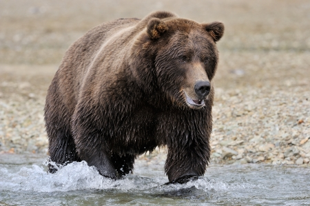 grizzly: Grizzly Bear in river catching salmon  Stock Photo