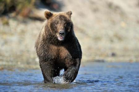 Grizzly Bear fishing in river