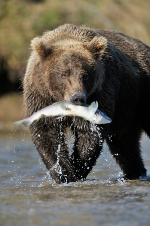 fauna: Grizzly Bear catching a salmon