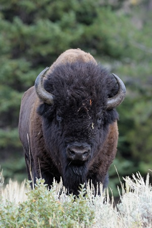 Buffalo at Yellowstone photo