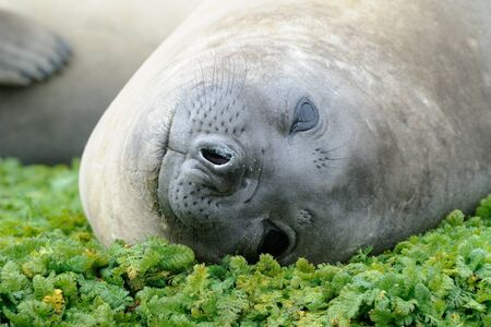 nostrils: Elephant Seal relaxing