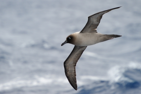 sooty: Light-mantled Sooty Albatross flying with ocean in background Stock Photo