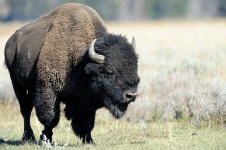 buffalo grass: Buffalo at Yellowstone