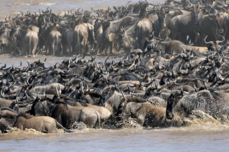 Wildebeest crossing the Mara river  photo