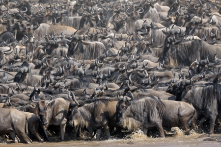 taurinus: Wildebeest crossing the Mara river  Stock Photo