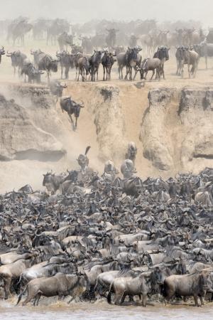 an ungulate: Gnu che attraversano il fiume Mara