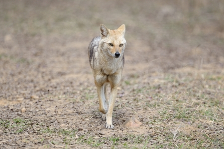 canis: Indian Jackal walking faced forwards