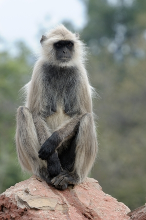 hanuman langur: Hanuman Langur sitting on a stone.