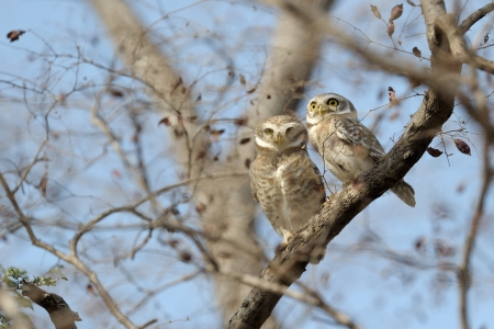 aves: Two spotted owls in a tree between branches; Stock Photo