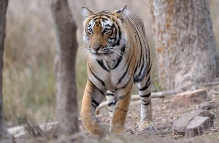 panthera tigris: Bengal tiger walking through forest.