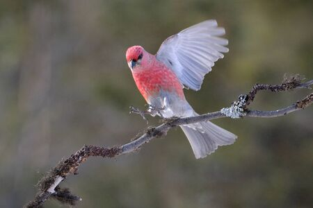 aves: Grosbeak landing on a branch