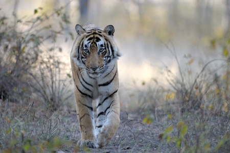 subspecies: Bengal Tiger walking towards camera  Stock Photo