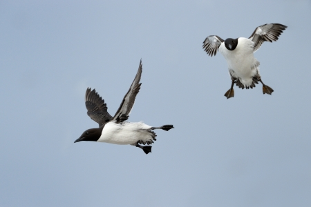 Two flying Guillemots  photo