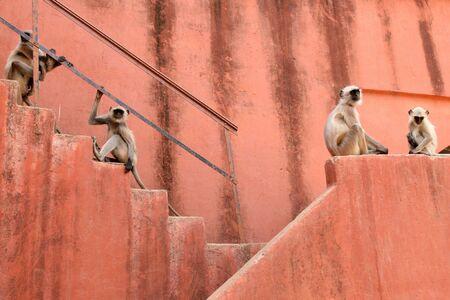 Hanuman Langur sitting on stairs  photo