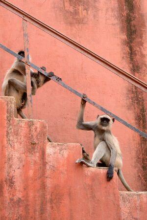 hanuman langur: Hanuman Langur sitting on stairs