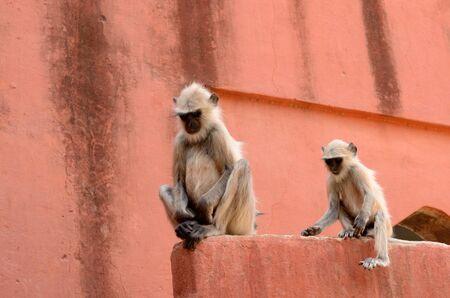 hanuman langur: Hanuman Langur sitting on building  Stock Photo