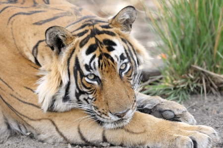 ly: Portrait of a Bengal Tiger  Stock Photo