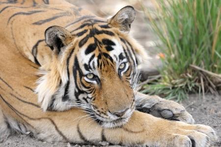royal park: Portrait of a Bengal Tiger  Stock Photo