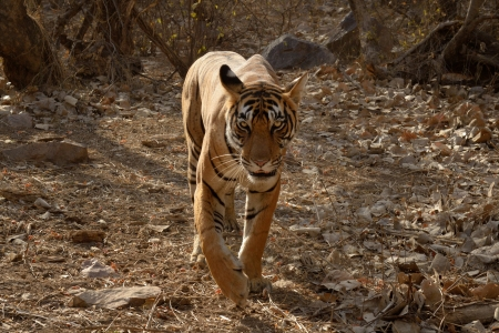 subspecies: Bengal Tiger walking in dry forest  Stock Photo