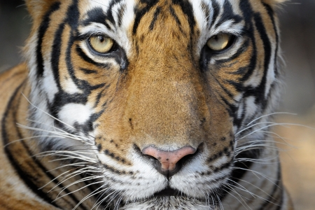 subspecies: Portrait of a Bengal Tiger  Stock Photo