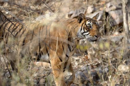 panthera tigris: Bengal Tiger walking in dry forest  Stock Photo