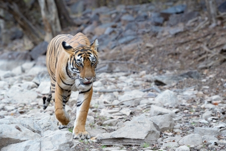 river bed: Bengal Tiger walking in river bed