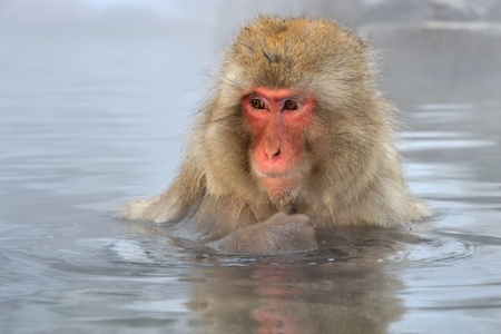 water hottub: Japanese Macaque in hot spring. Stock Photo