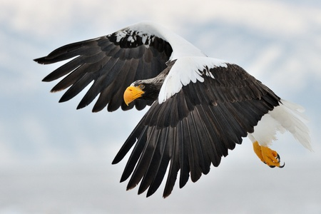 Stellers Sea Eagle flying with mountain in background..