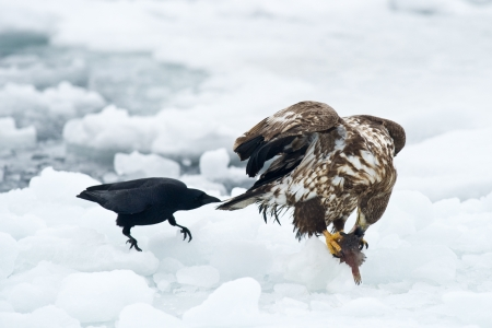 Crow harrassing a White-tailed Sea Eagle for stealing food. photo