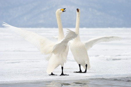 courtship: Two Whooper Swans at courtship.