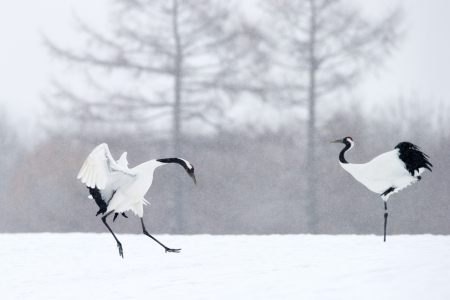 ornithology: Two Red-crowned Cranes in courtship.