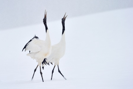 crane bird: Two Red-crowned Cranes in courtship dancing. Stock Photo