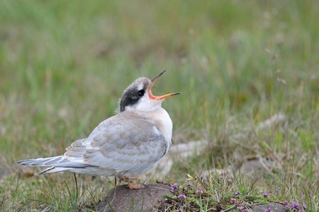 Juvenile Arctic Tern screaming for food  photo