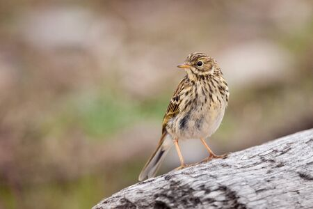 motacillidae: Meadow Pipit