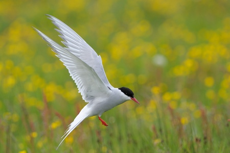 seabirds: Arctic Tern flying with yellow flowers and grass in the background Stock Photo