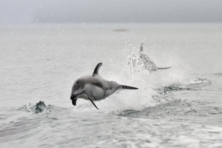 Delfines blancos del Pacífico cara jugando juntos