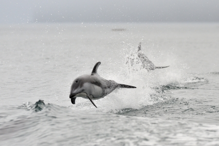 animals together: Pacific white sided dolphins playing together Stock Photo