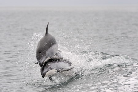 sided: Pacific white sided dolphins playing together Stock Photo