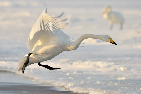 Whooper Swan landing from flight  Stock Photo