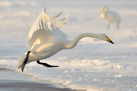 aquatic bird: Whooper Swan landing from flight  Stock Photo