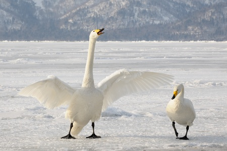 Two Whooper Swans at courtship  photo