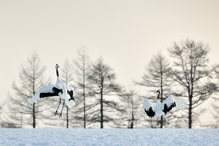 courtship: Two Red-crowned Cranes in courtship at sunrise