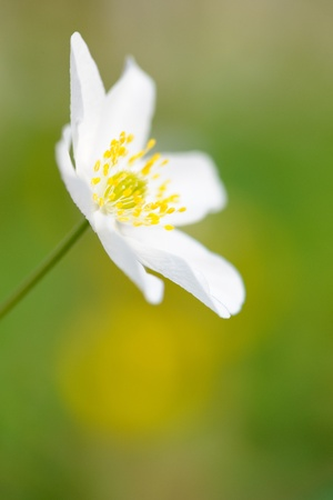 Close up from a Wood Anemone  photo