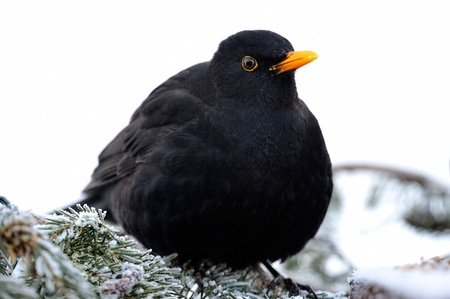 Blackbird sitting on a spruce branch Stock Photo - 18385711