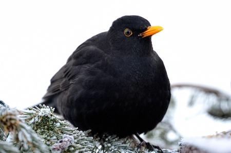 turdidae: Blackbird sitting on a spruce branch